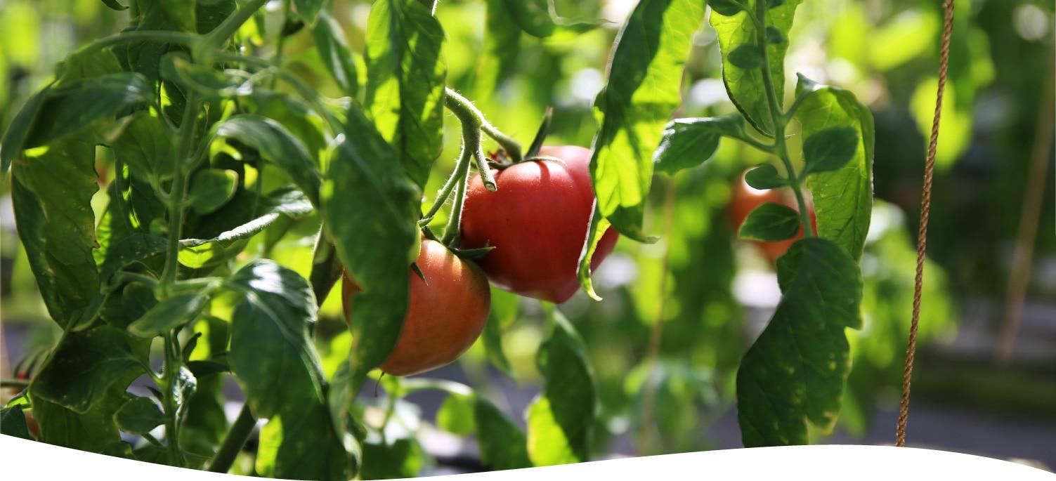 樫山農園のトマト