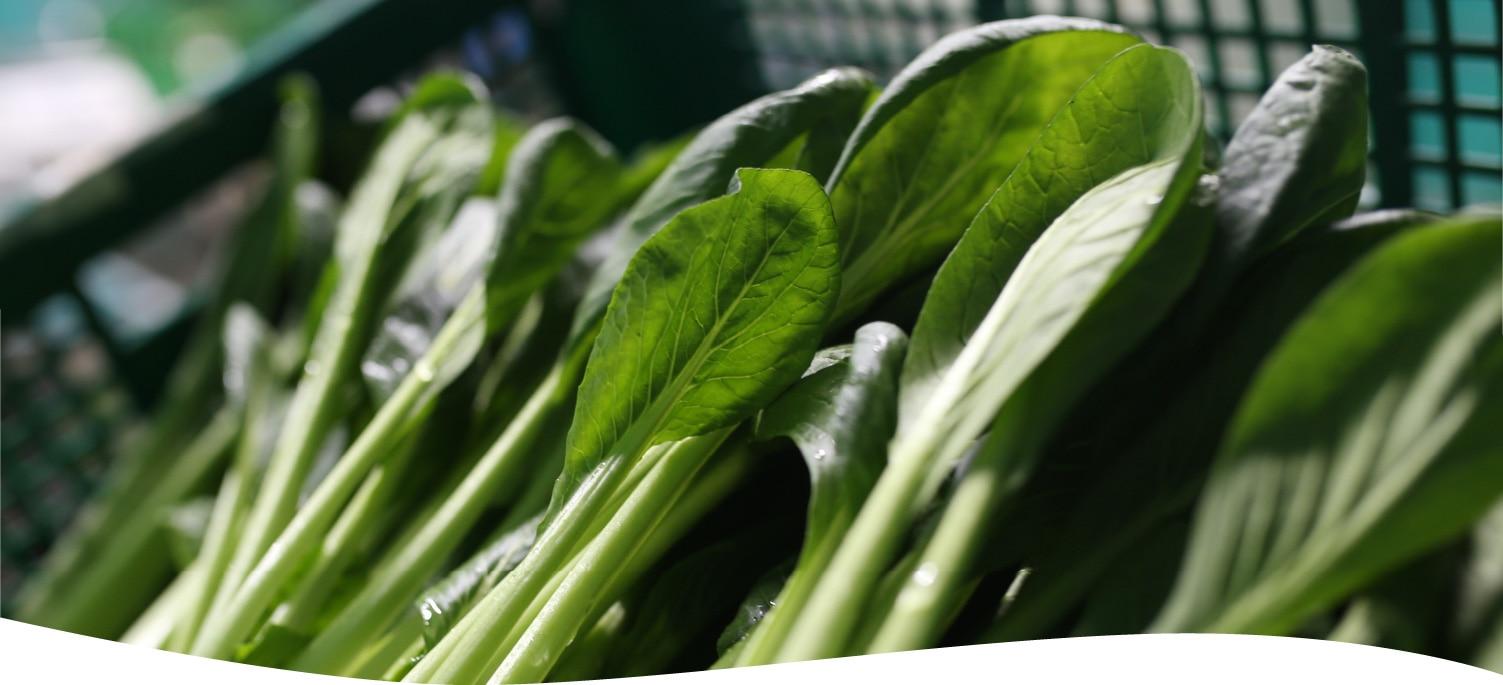樫山農園の小松菜