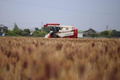 樫山農園の麦